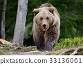 Big brown bear in the forest 33136061