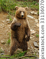 Big brown bear in the forest 33136070