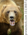 Big brown bear in the forest 33136071