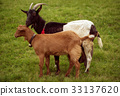 Two grazing goats 33137620