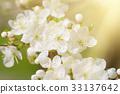 Apricot tree blossoms 33137642