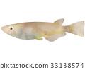 killifish, medaka rice fish, fish 33138574