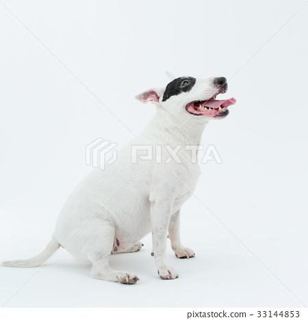 Bull Terrier I Punch 33144853
