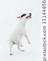 Bull Terrier I Punch 33144856