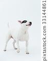 Bull Terrier I Punch 33144861