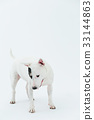 Bull Terrier I Punch 33144863