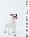 Bull Terrier I Punch 33144865