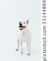 Bull Terrier I Punch 33144869