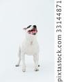 Bull Terrier I Punch 33144871