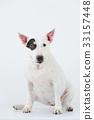 Bull Terrier I Punch 33157448