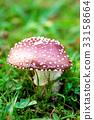 mushroom, mushrooms, fly agaric 33158664