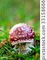 mushroom, mushrooms, fly agaric 33158666