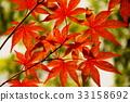 楓樹 紅楓 楓葉 33158692