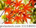 楓樹 紅楓 楓葉 33158693