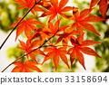 楓樹 紅楓 楓葉 33158694