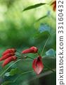 鸡冠刺桐 开花 花朵 33160432