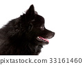 side view of black fur of pomernian puppy dog 33161460