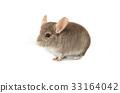 chinchilla 33164042
