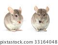 two chinchilla 33164048