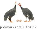 fowl, bird, egg 33164112