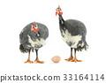 fowl, bird, egg 33164114