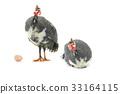 fowl, bird, egg 33164115