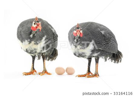 Guinea fowl 33164116