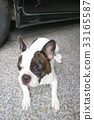 crouch  French bulldog or unaware dog, 33165587