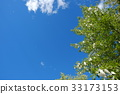 blue sky, early summer, poplar 33173153