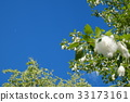 blue sky, early summer, poplar 33173161