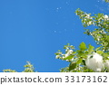 blue sky, early summer, poplar 33173162