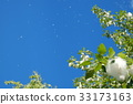 blue sky, early summer, poplar 33173163