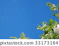blue sky, early summer, poplar 33173164