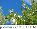 blue sky, early summer, poplar 33173166
