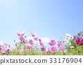 大波斯菊 大波斯菊田地 花園 33176904