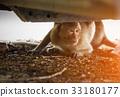 Monkey hide below the car looking the stranger. 33180177
