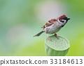麻雀 鸟儿 鸟 33184613