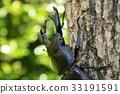 鍬形蟲 鋤頭形頭盔 日本大鍬形蟲 33191591