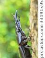 鍬形蟲 鋤頭形頭盔 日本大鍬形蟲 33191595