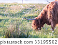 Swarm of midges attacking highland cows 33195502