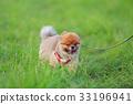 【작은 개] 초원과 포메라니안 33196941