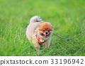 【작은 개] 초원과 포메라니안 33196942
