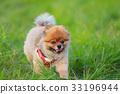 【작은 개] 초원과 포메라니안 33196944