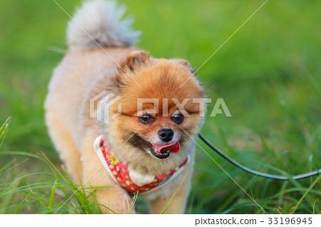 【작은 개] 초원과 포메라니안 33196945