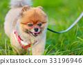 【작은 개] 초원과 포메라니안 33196946