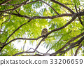 Spotted Owl in thailand 33206659