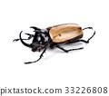 fighting beetle (rhinoceros beetle) isolated 33226808