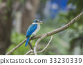 Collared kingfisher, White-collared kingfisher,  33230339