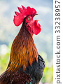 Chicken, rooster, bird 33238957
