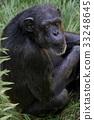 동물, 침팬지, 원숭이 33248645
